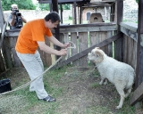 Daktaras Adas Jakubauskas mėgina pagautį imtynių prizą - avį